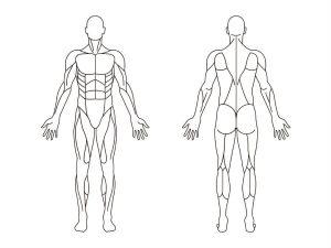 人間の筋肉のイラスト